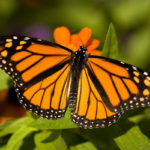Monarch/Danaus plexippus