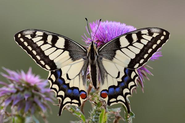 Exceptionnel We Raise Native Butterflies Including Monarchs U2026