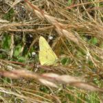 Orange sulphur/Colias eurytheme