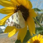 Checkered white/Pontia protodice