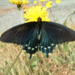 Pipevine swallowtail/Battus philenor