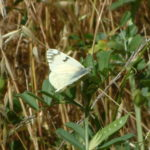 Cabbage white/Pieris rapae