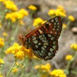 Variable checkerspot/Euphydryas chalcedona