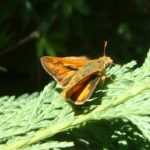 Fiery skipper/Hylephila phyleus
