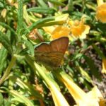 Tailed copper/Lycaena arota