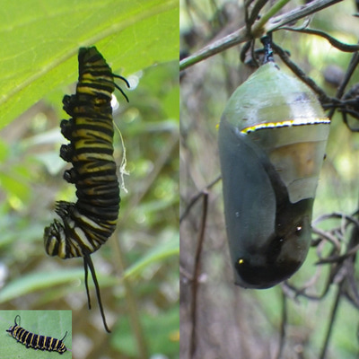 To Help Make Sure These Diseases Don T Spread Through Your Monarch Potions Remove And Isolate Any Caterpillars Or Chrysalis Which Exhibit The Above