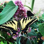 Two-Tailed tiger swallowtail/Papilio multicaudata