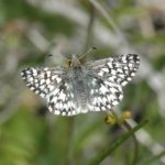 Common checkered skipper/Pyrgus communis